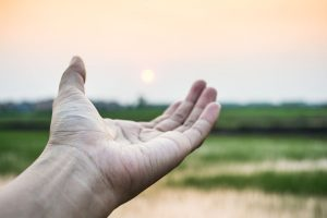 Hand of the man on green paddy rice in field and sky sunset background