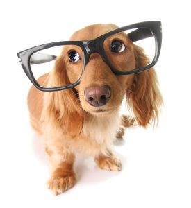 Smart Dachshund with glasses